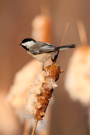 Black-capped Chirckaee_4